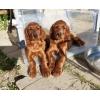 Irish Setter puppies for sale! ! !